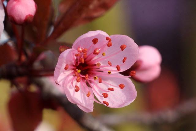 cherries 2010