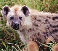 hyena Pictures,  Images and Photos