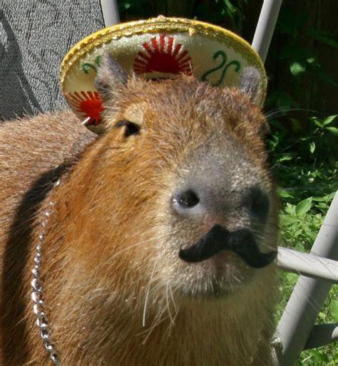 Writtalin 10 Times The Capybara DGAF   Writtalin