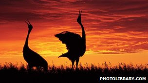 Red crowned crane pair at sunset