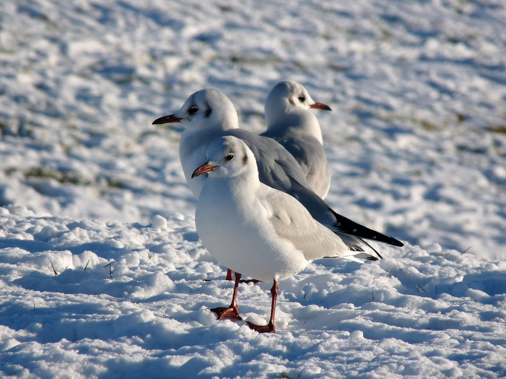 23781 - Black Headed Gull, Sandy Water Park, Llanelli