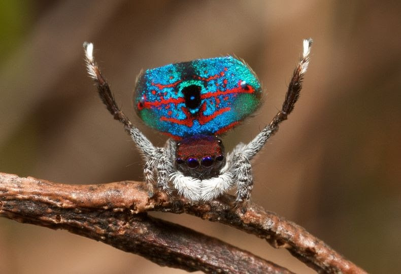 peacock-spider-6
