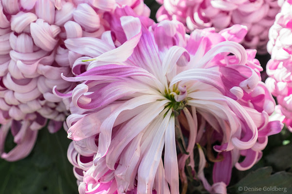 chrysanthemums in pink