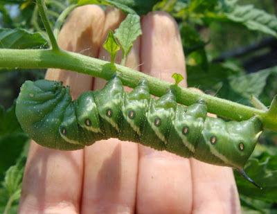 Tomato hornworm and hand