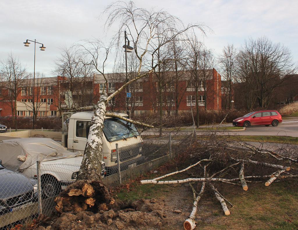 Volkswagen hit by birch tree