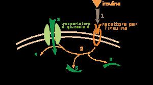 Insulin glucose metabolism ZP (it)