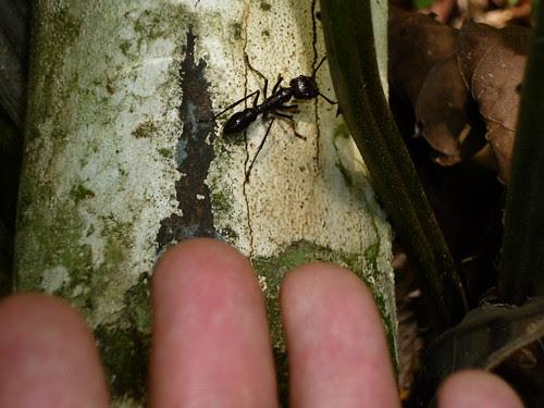 fourmi geante