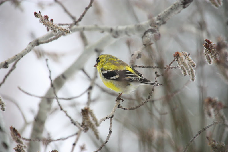Goldfinch in mottled coat