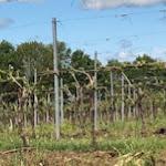 Viticulture / oenologie -Viticulture- : La grêle surprend les vignes de Cognac et de Bordeaux