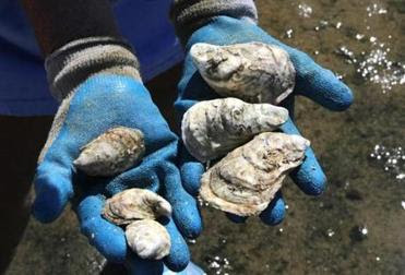 Oysters culled from Provincetown aquaculture beds.