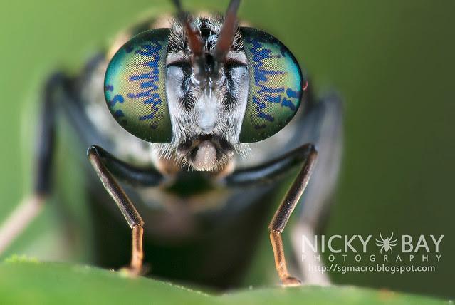 Soldier Fly (Stratiomyidae) - DSC_1875