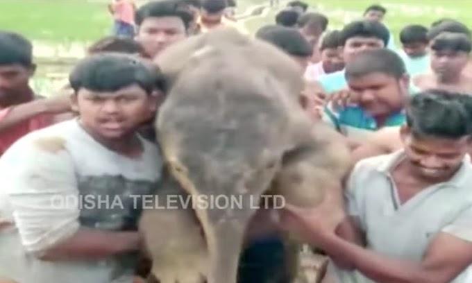 El triste final después del zoorprendente rescate de un bebé elefante que cayó en un agujero