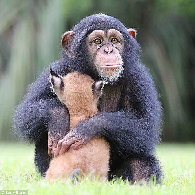 Bond: The lynx and the chimp have become the best of pals looking out for each other day to day