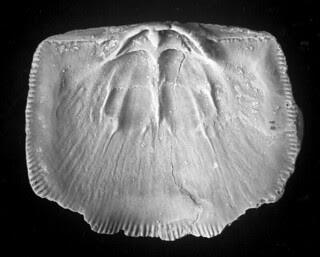 Ilmarinia sinuata (Pahlen, 1877)