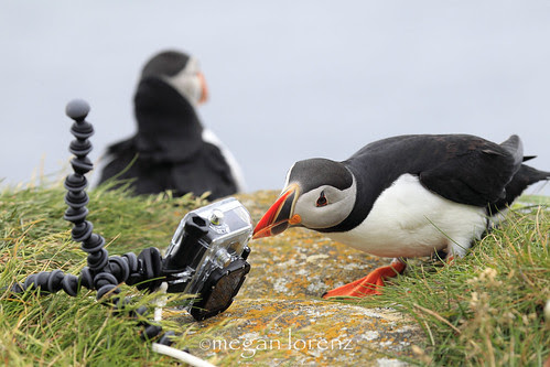 Hero Down.  Puffin To The Rescue by Megan Lorenz