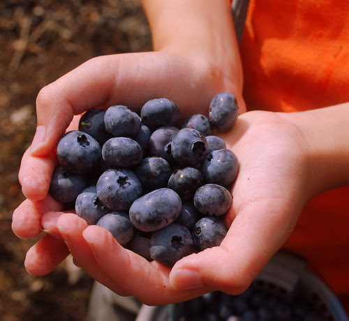 Macombers Blueberry Stand handful