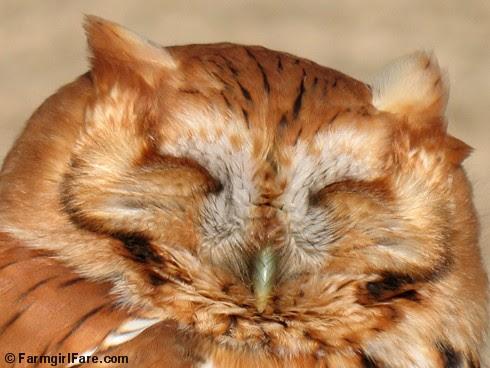 Screech Owl (1)