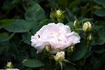 Morris Arboretum - Bee In Rose