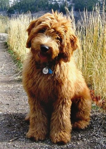 Labradoodle: Dog I want when we move into our house! I would name him Teddy (a Goldendoodle would be acceptable as well). : )