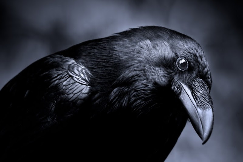 10 Fascinating Facts About Ravens