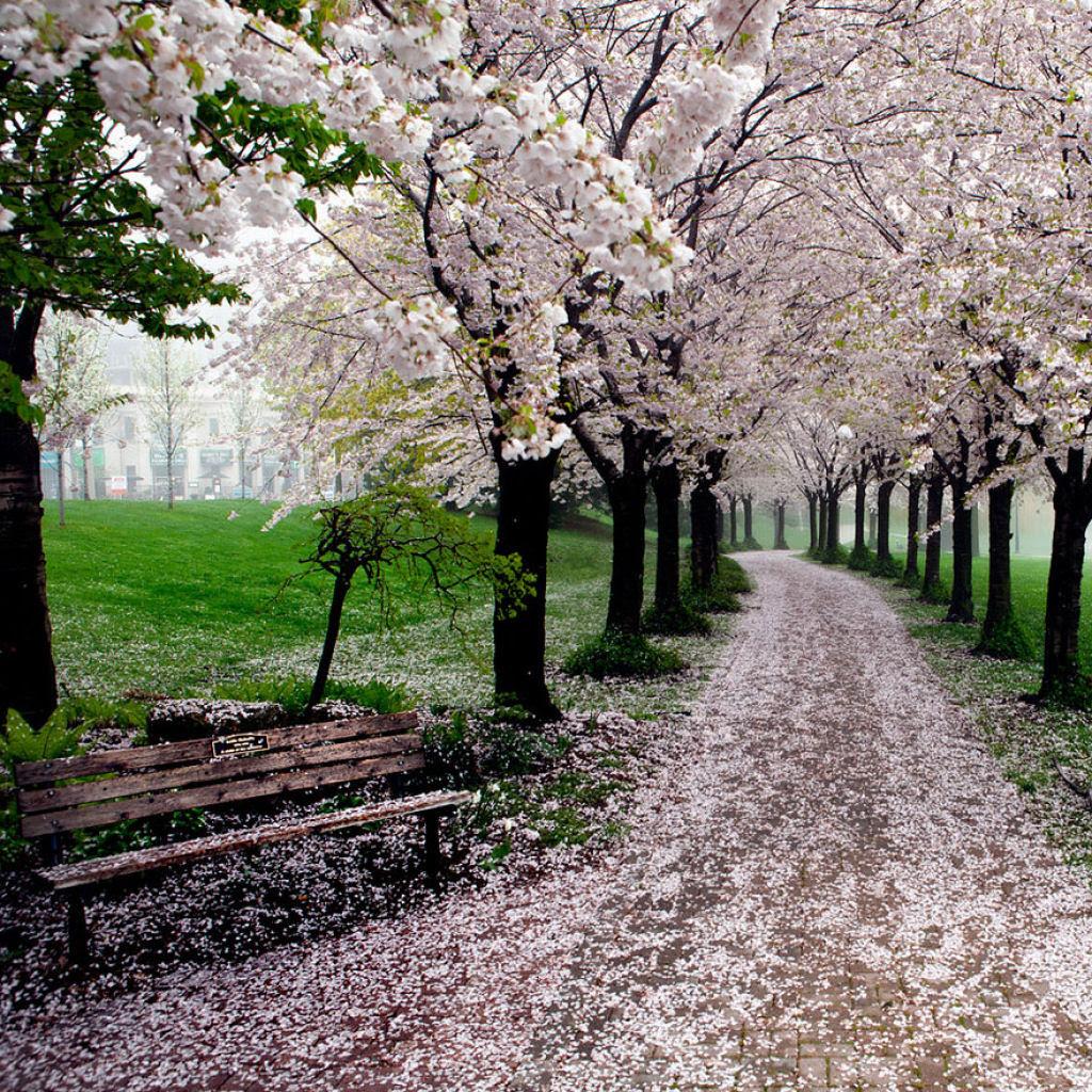 As floradas de cerejeiras mais bonitas em todo o mundo 09
