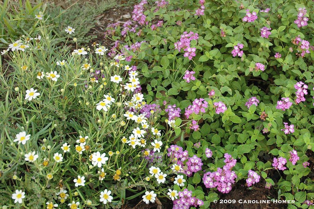 Blackfoot daisies & trailing lantana