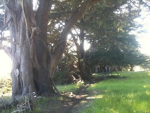 Cypress near Slide Ranch