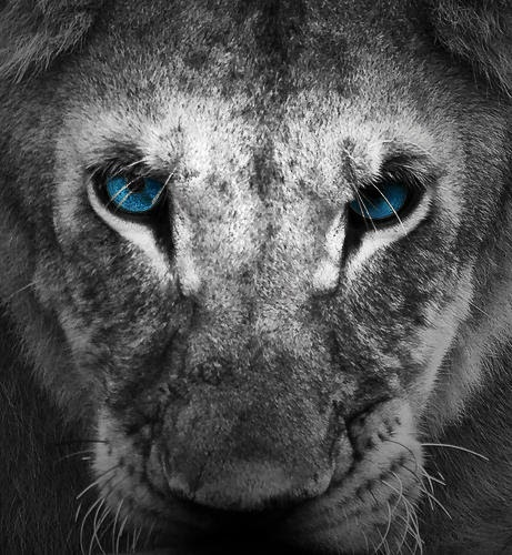 Awesome Black Lion With Blue Eyes Wallpaper Pictures