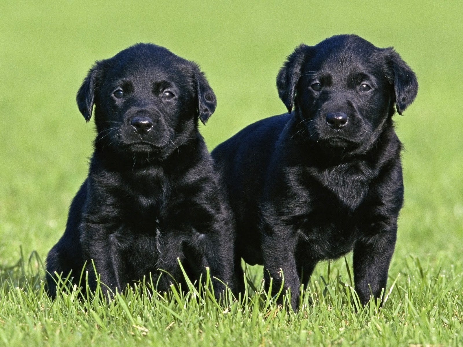 Black Lab Puppies for sale in Louisiana USA