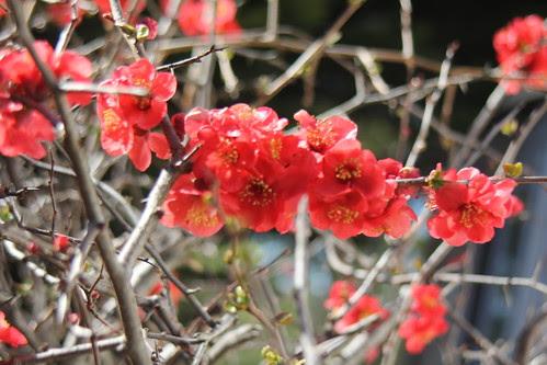 IMG 3717 Armidale Heritage blossoms