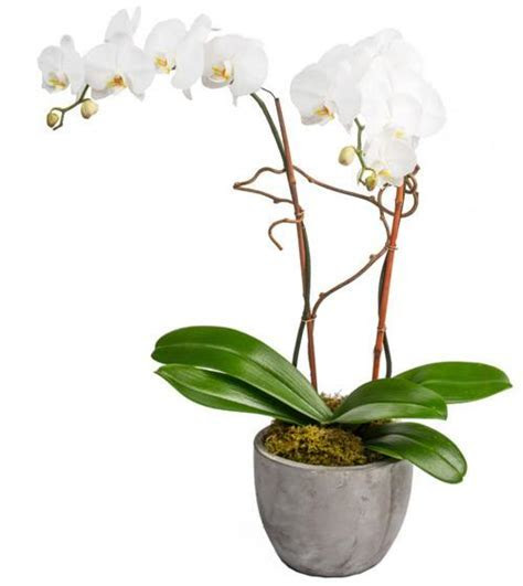 Double White Orchids   Fresh Blooms, Langley & Surrey Flowers