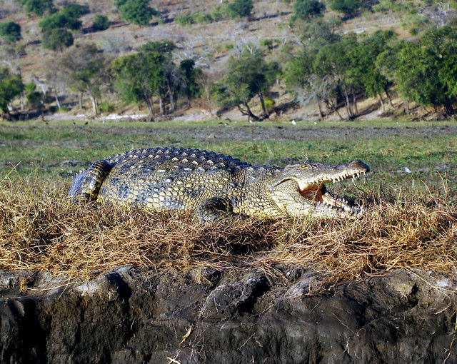 DSC09379 Nile Crocodile