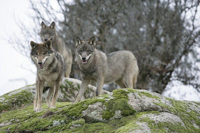 File:Canis Lupus Signatus.JPG