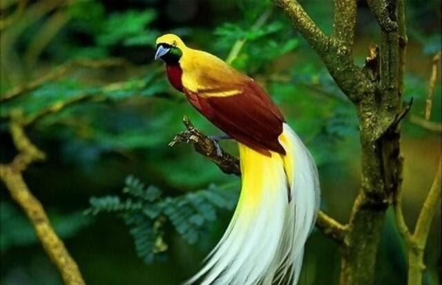 480+  Gambar Burung Cendrawasih Png HD Paling Keren Free