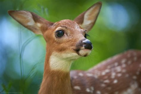 White tailed Deer Fawn Close up