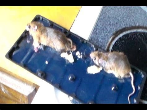 How to get rid of Mice in your house Quickly (The Best and Easy way)   YouTube