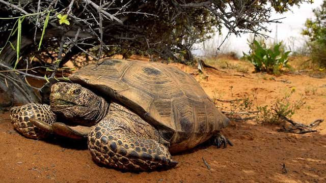 A desert tortoise finds relief from the sun under a bush in the Red Cliffs Desert Reserve north of St. George, Utah, Wednesday, April 18, 2001. (AP Photo/Douglas C. Pizac, File)