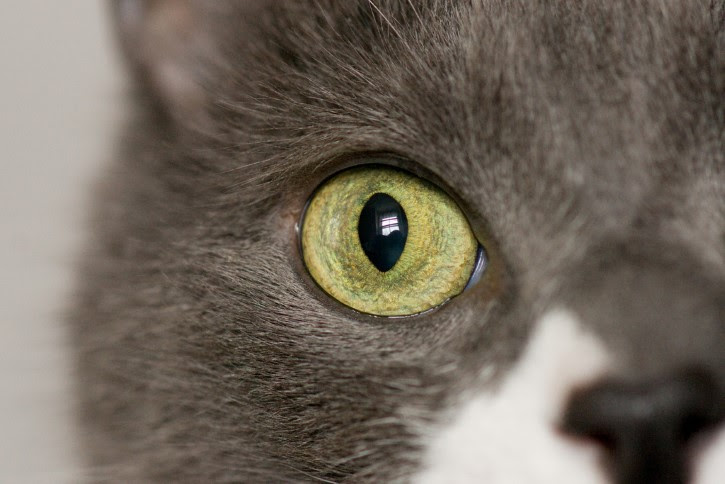 gato ojo amarillo
