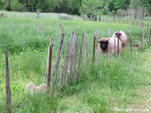 Jasper meets the sheep (1) - FarmgirlFare.com