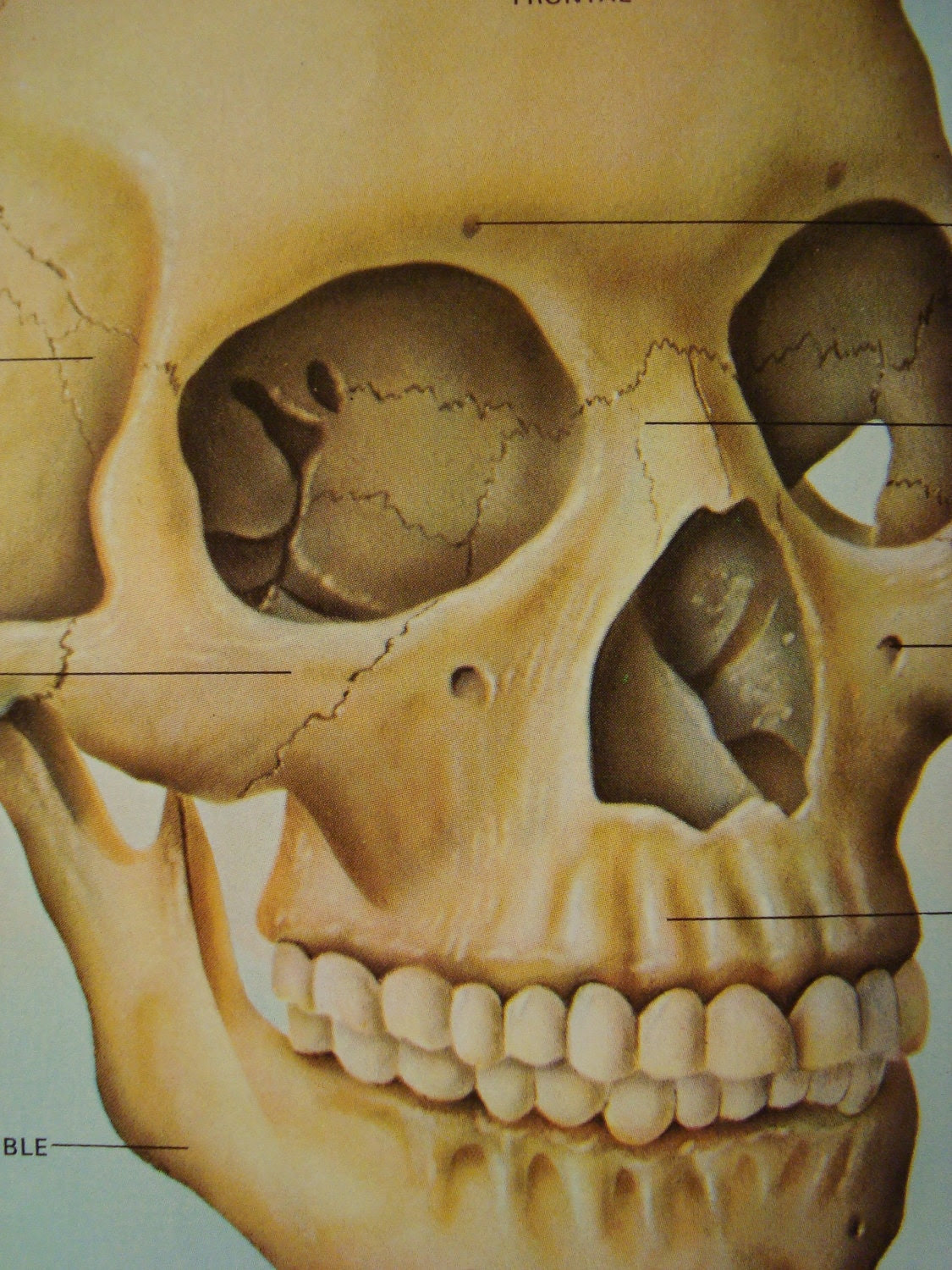 Floating Skull Anatomy Original Print Number 544