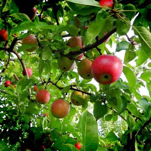 10 x native Irish Apple Trees 1