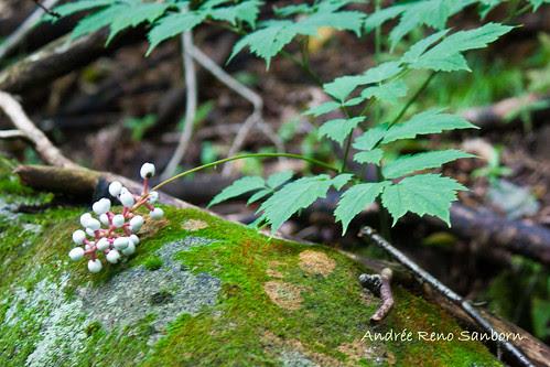 White Cohosh (Actaea pachypoda) (White Baneberry)-3.jpg