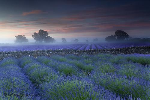 Somerset Lavender por antonyspencer