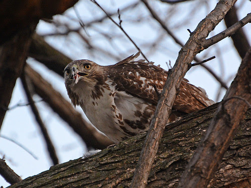 Juvenile Red-Tailed Hawk (6233)