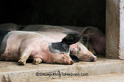 Pigs at Rest, Dane County, Wisconsin
