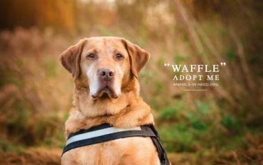 Waffle – 7 year old male Labrador Cross