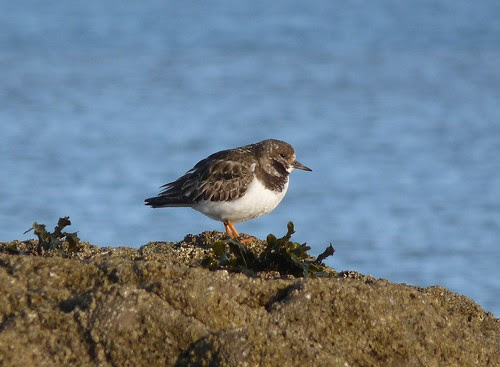 12201 - Turnstone at Port Eynon, Gower