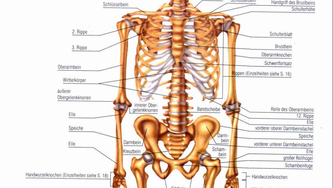 Wissenswertet für den Alltag: Wie viele Knochen hat der Menschliche ...