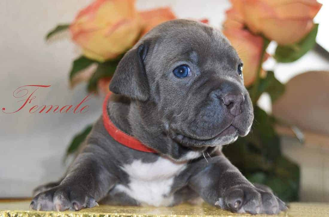 New Puppies - Blue Nose Pitbull Puppies For Sale | Ireland