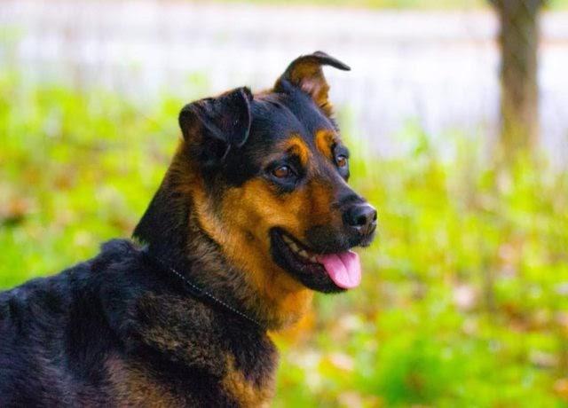 Molly – 7-8 year old female German Shepherd Cross